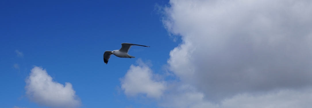 Seagull flying with white clouds